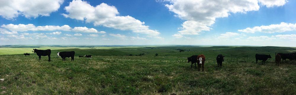 Prairie Sky, Clouds & Cattle