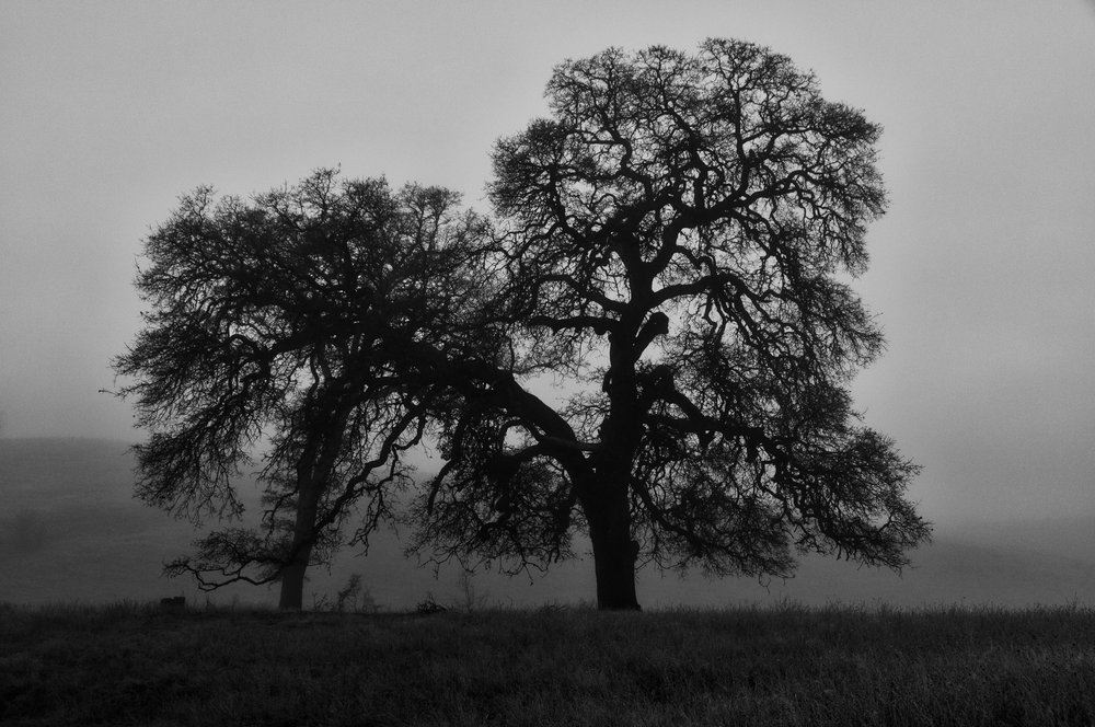 Old Oak Trees in Morning Fog