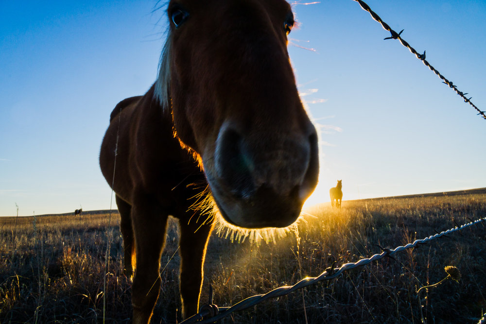 Curious Mustang in the Flint Hills