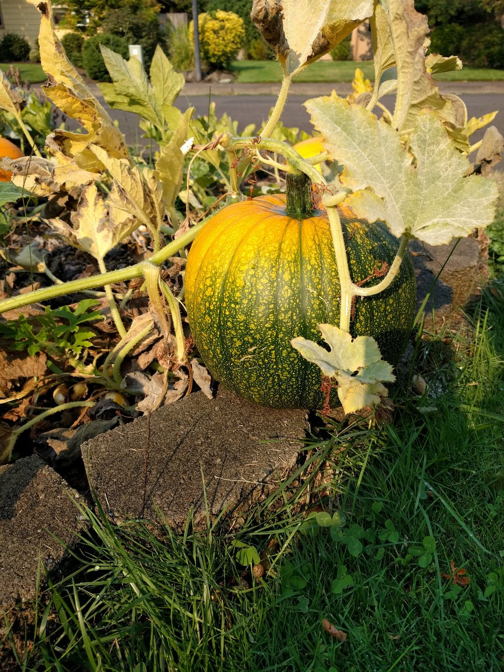 This past June our kids planted pumpkin seeds and grew them through the summer.