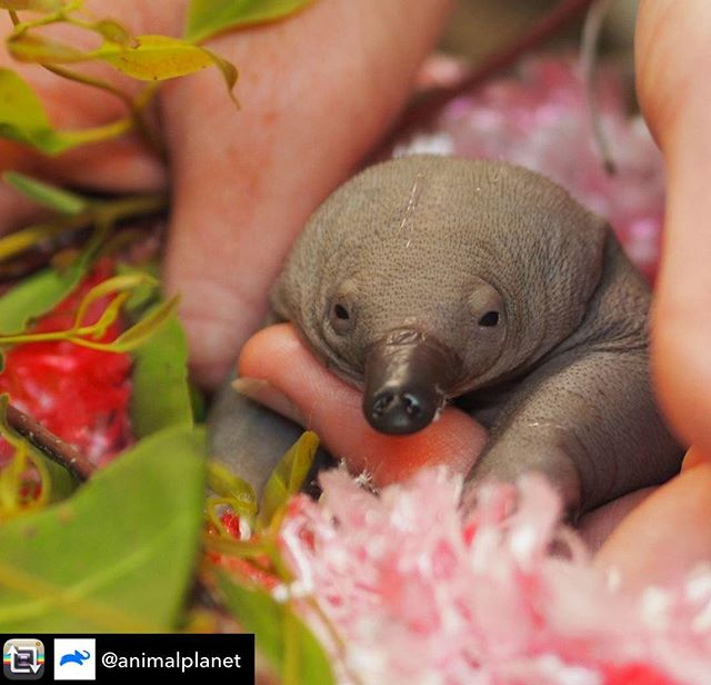 I'll just leave this guy here.  Repost from @animalplanet using @RepostRegramApp - Polly the echidna puggle was found all alone underneath a house. With her rolly polly skin and no spines, she was a sight for sore eyes and not yet old enough to fend for herself in the wild. The team at the Australia Zoo Wildlife Hospital confirmed she was uninjured, before feeding her hungry belly, tucking her into a warm pouch, and placing her with a wildlife carer who has experience with hand-raising echidna puggles. 📸: @AustraliaZoo . . . . . . . #animalsofinstagram #animalplanet #animaloftheday #wild #wildlife #outdoors #animals #wildanimals #conservation #nature #animallovers #instanature #wildgeography #wildlifeonearth #TheIrwins #AustraliaZoo
