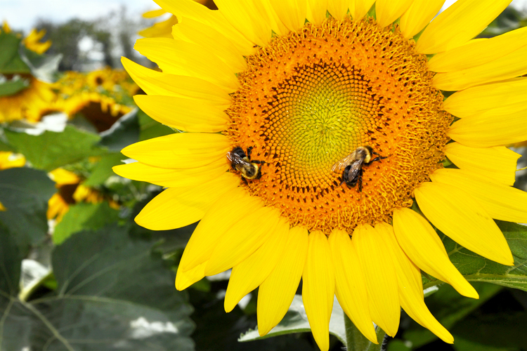 sunflowers_5537724477_o.jpg