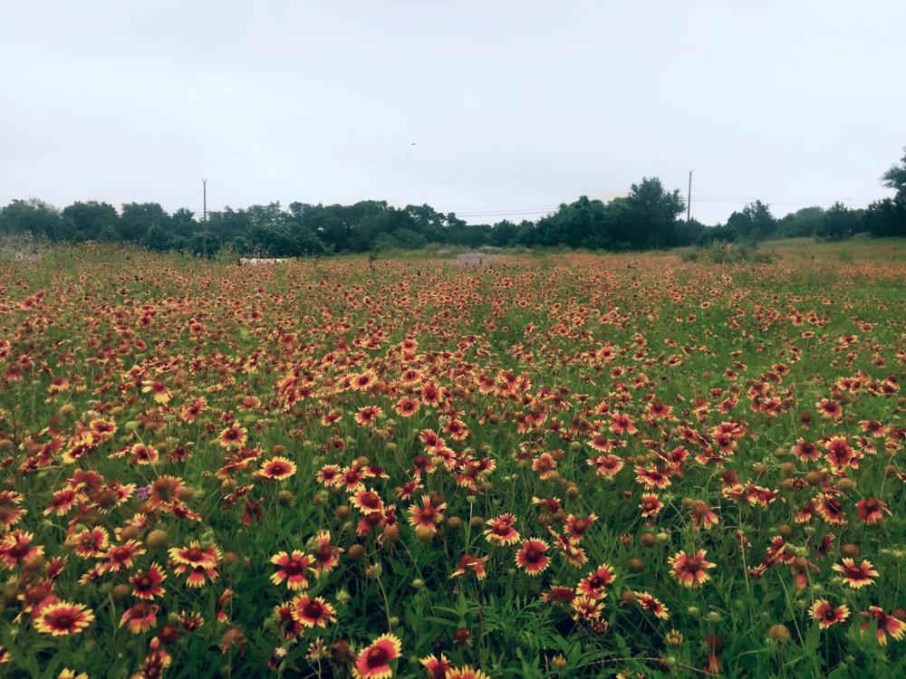 Texas Spring Wildflowers (next to venue site)