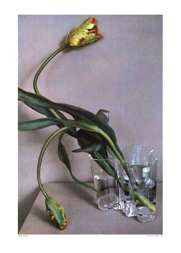 beddf6c0e8b067d3c27ae59356112d99--parrot-tulips-man-ray-1.jpg
