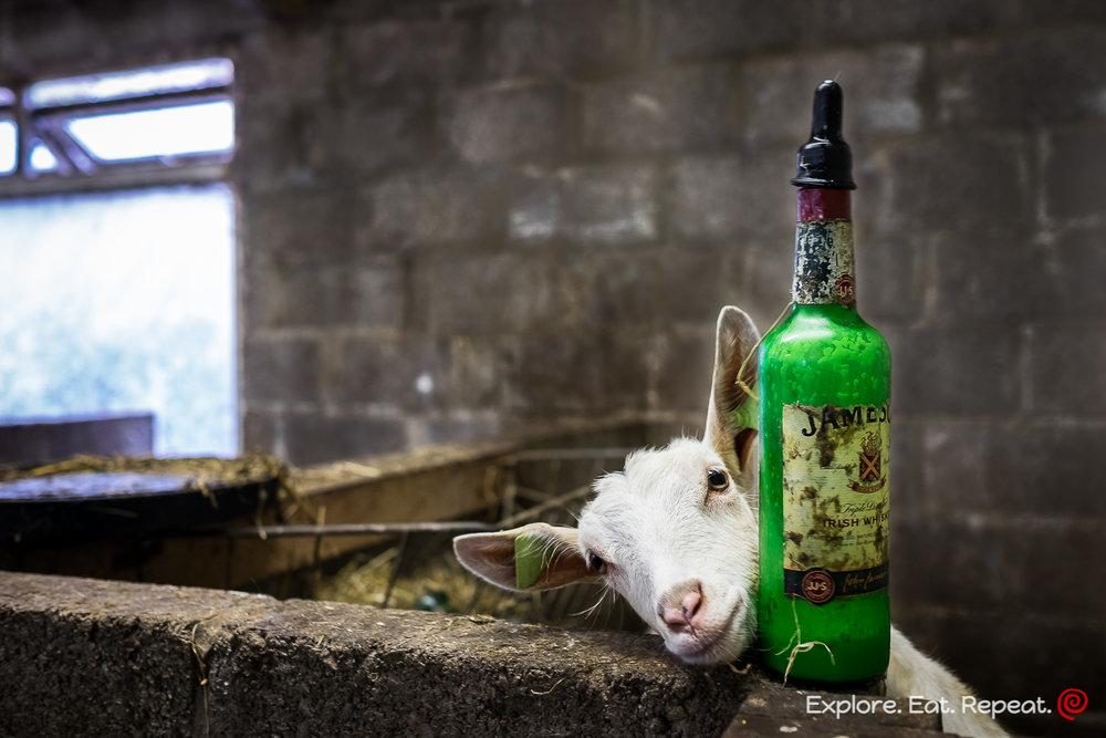 goat-8906.jpg