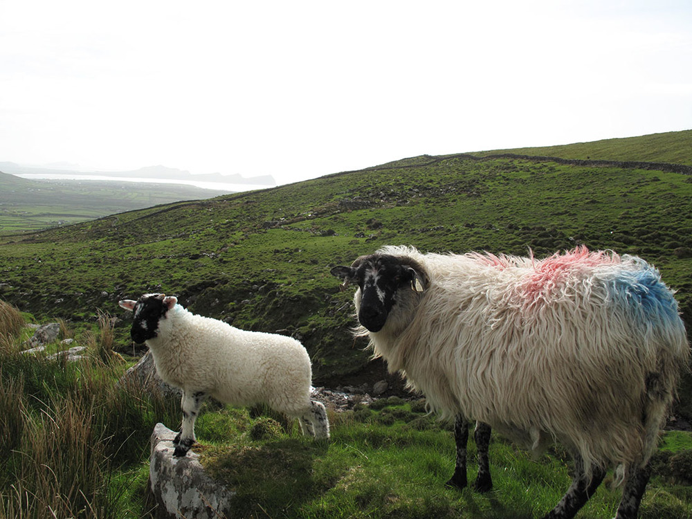 Dingle Peninsula in County Kerry, Ireland/ Pearl Dip Sheep