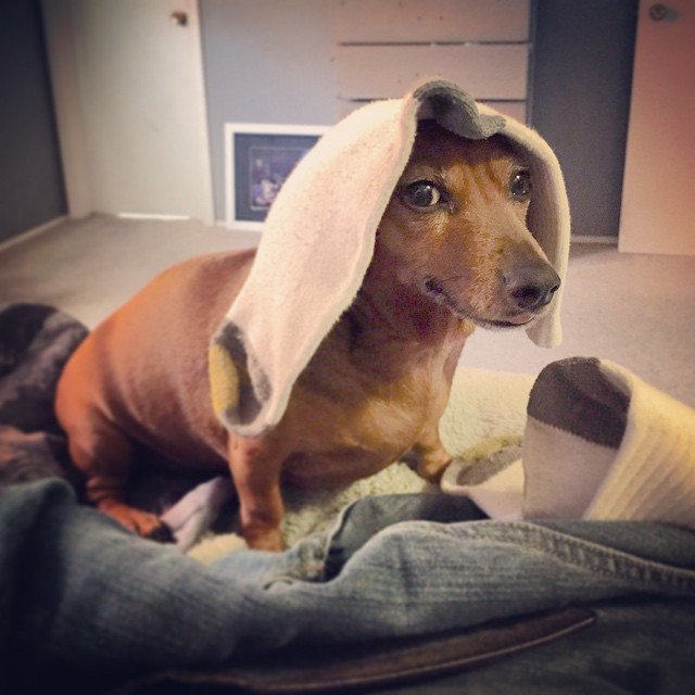 Abby is helping me get dressed. #wienerdog #dachshund