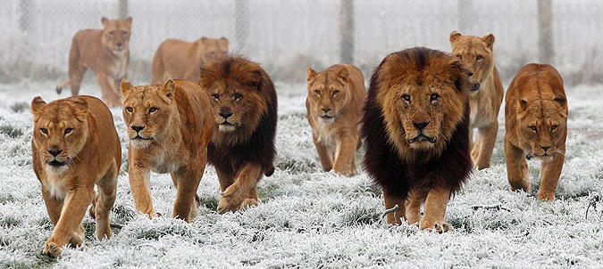 Pack of lions pic.jpg