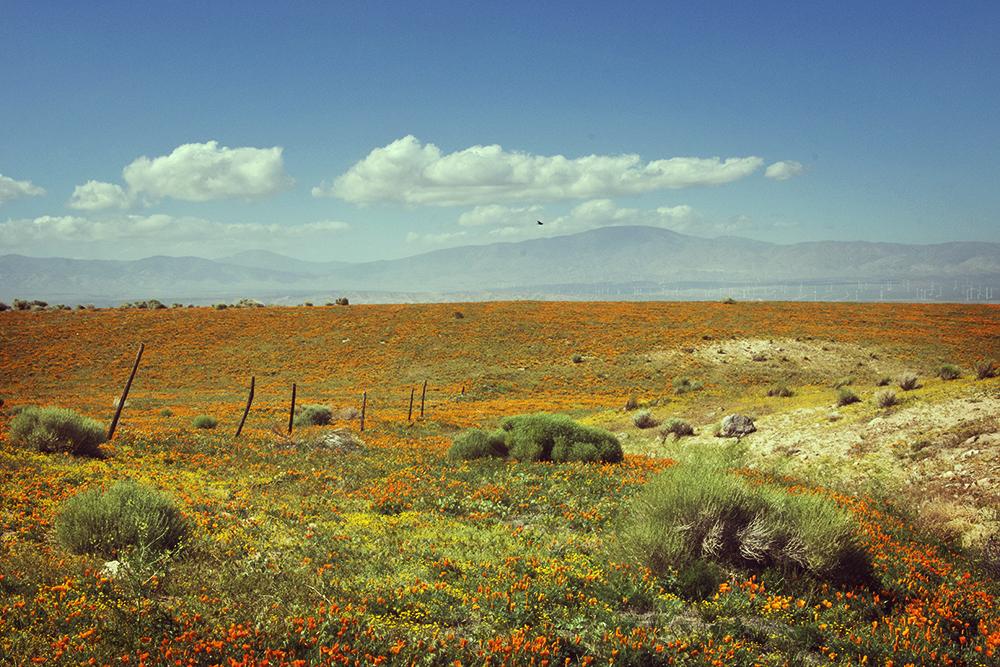 CaliforniaPoppy1.jpg
