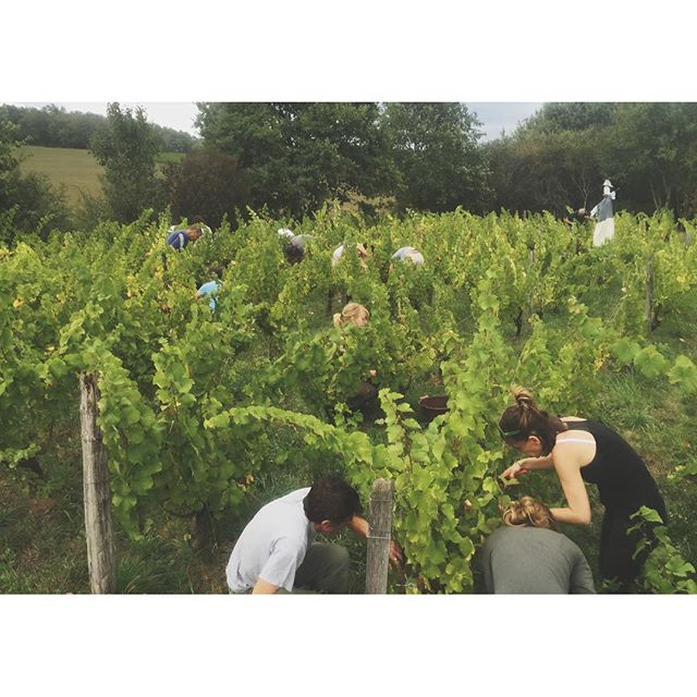 """Les vendanges continue! This was yesterday, harvesting Chardonnay for Raphaël's cuvée """"Va Donc"""". All in all, we're 20 kids and adults, both family and friends, working together, filling up bucket after bucket to bring home this year's grapes. An amazing feeling, really.  We were unlucky to hit some bad weather yesterday where it rained straight for 2-3 hours. It isn't ideal to harvest when it's raining, since it can simply add water to the wine - which isn't something that one would want!  Today the weather forecast is better and hopefully we will be able to have a full day's harvest without any rain. • • • 🌿@lisalinddunbar  #domaineratapoil #jura #vinikulturtakeover #lisagoingtofrance"""