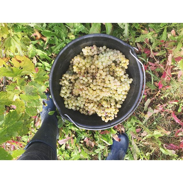 A bucket of very satisfactory and ripe Chardonnay grapes.  At the moment we only harvest Chardonnay and Pinot Noir grapes since they reach maturity first. Secondly Savignin, Trousseau and Ploussard. • • • 👌🏼 @lisalinddunbar  #domaineratapoil #jura #vinikulturtakeover #lisagoingtofrance