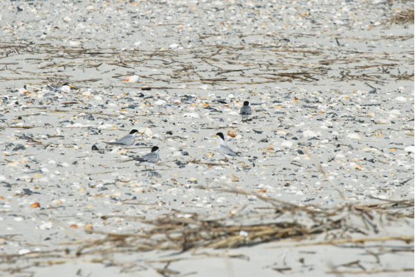 There are at least 11 baby and adult Least Terns in this picture. Can you spot them all?