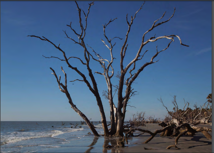 The boneyard beach at Bulls Island is constantly changing and growing, as new sections of forest are overtaken by the tide, and waves gradually smooth and wear away the branches of trees that now stand in the ocean.