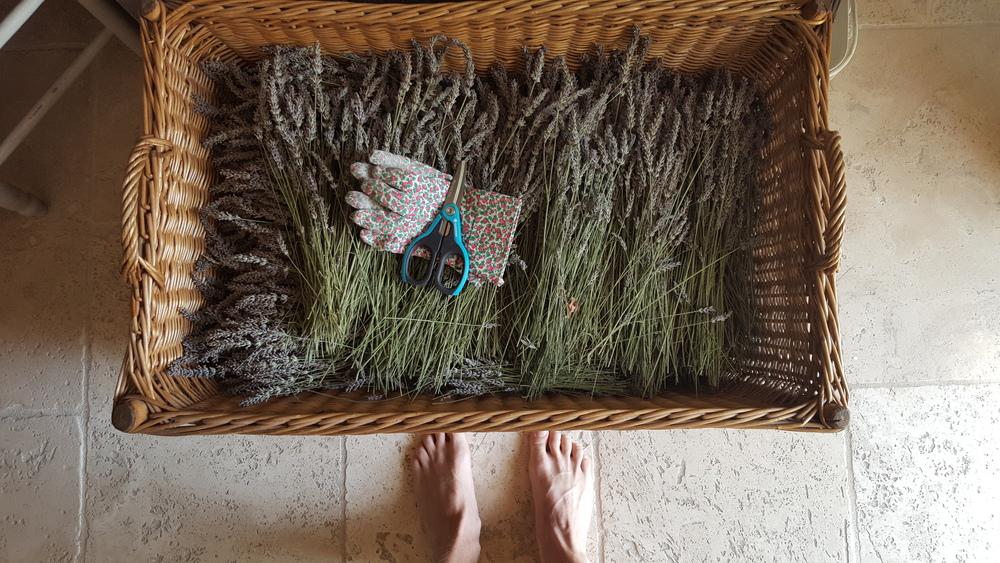 basket of Lavender in Provence