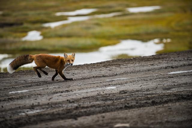Playful Arctic fox,Tuktoyaktuk, NWT