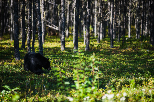 Black Bear near Terrace, BC