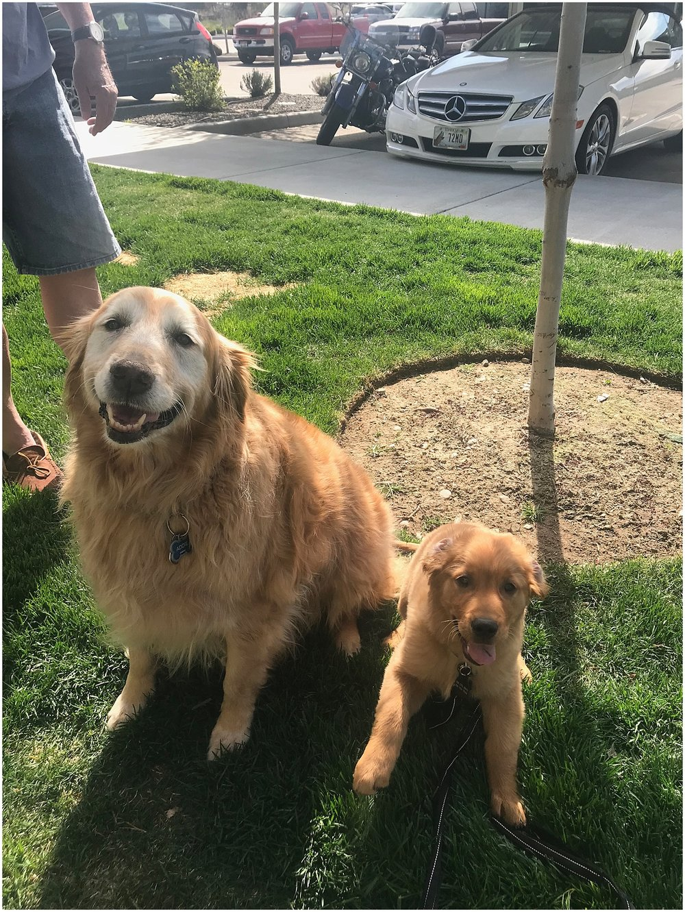 dodger became friends with a 10 year old golden at our complex, yes this is the cutest thing ever.