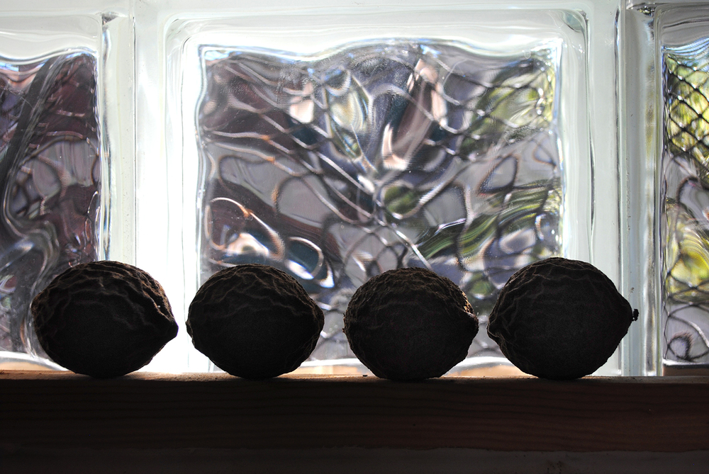 Black walnuts from around Baltimore. Drying up.