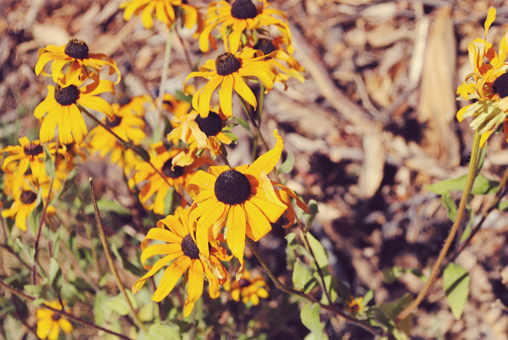 Black Eyed Susans, Maryland's state flower all the way in the mountains.
