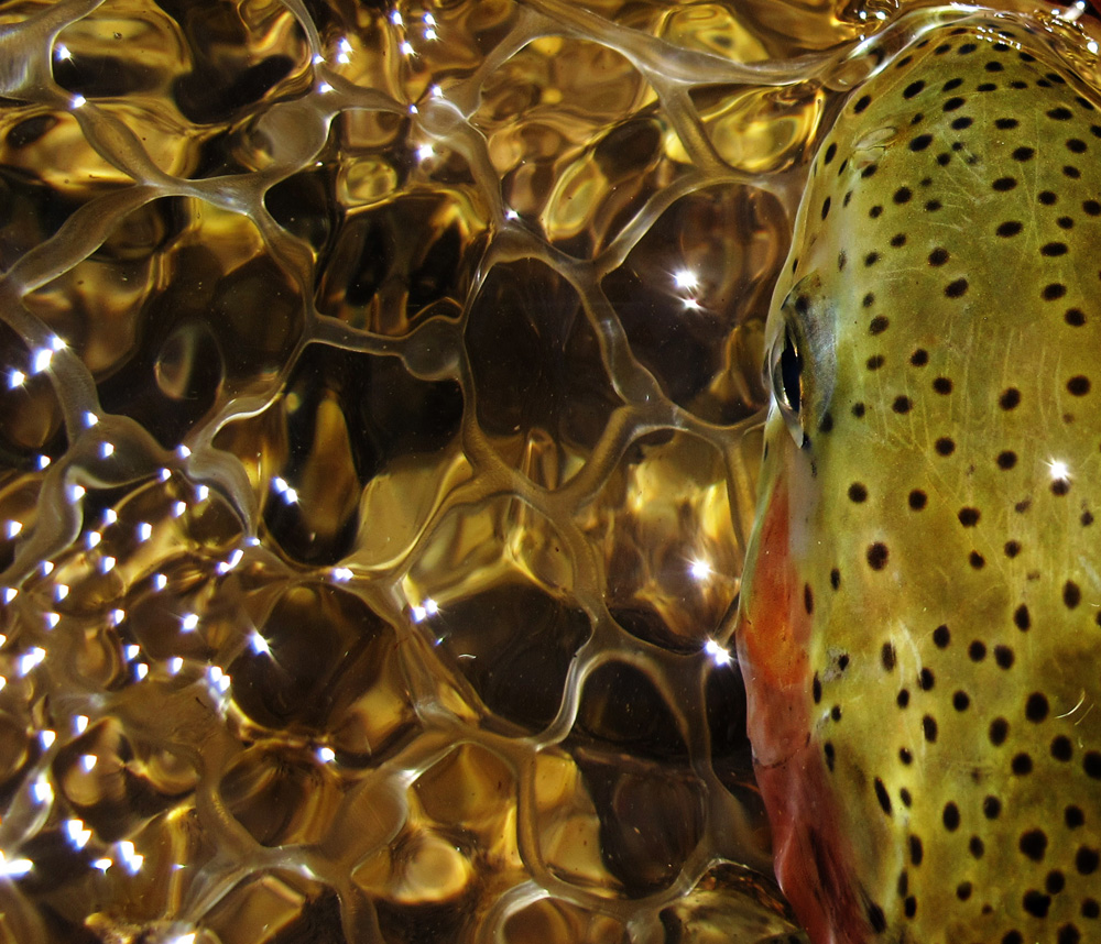 Rainbow trout resting before release. Bryan Huskey photo.