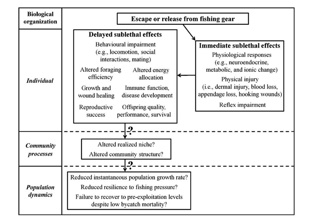 Fig. 1. from  the linked paper.  Conceptual diagram outlining the immediate and long-term effects of escape or release from commercial fishing gear and how it relates to each level of biological organization. Question marks (?) denote areas for which no primary literature exists, and present future avenues of research.