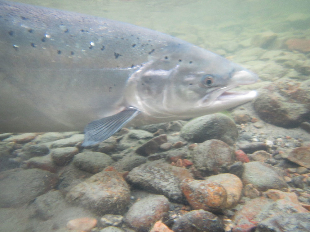 Atlantic salmon in the river. Robert Lennox photo.