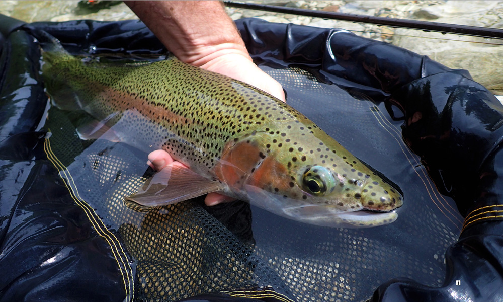 Here's a wild rainbow trout buck from the Idrijca River. They are almost native now, but at the same time totally alien ... future unknown?!    Photograph by Uroš Kristan, KWF Ambassador.