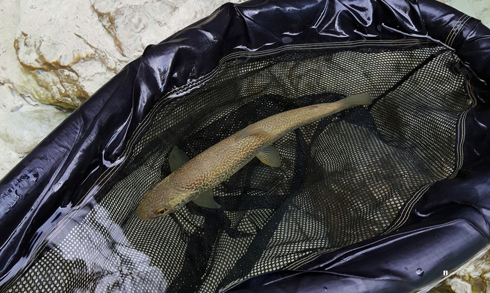 "Here's a baby marble trout from the emerald daughter of mountains, the Soča (Isonzo) River . Please #keepemwet and Catch & Release for generations to come. About the net - This amazing ""floating"" landing net was a game changer and a clever simple design/innovation from a man who is a total fly fishing enthusiast. His name is Glen Pointon from England, and the name of the  net is  Glen Pointon Living The Dream Catch and Release Net .  Photograph by Uroš Kristan, KWF Ambassador."