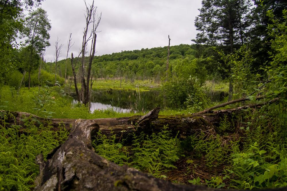 Un étang à castor avec sa maison au loin