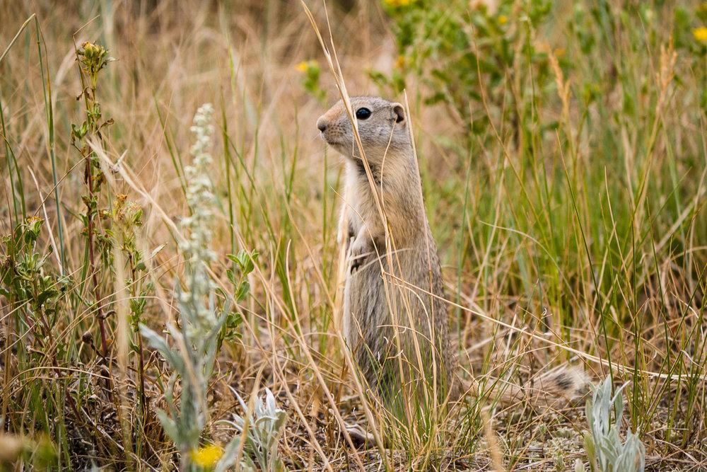 Le maudit brin d'herbe était dans les jambes mais c'est un Ground Squirrel