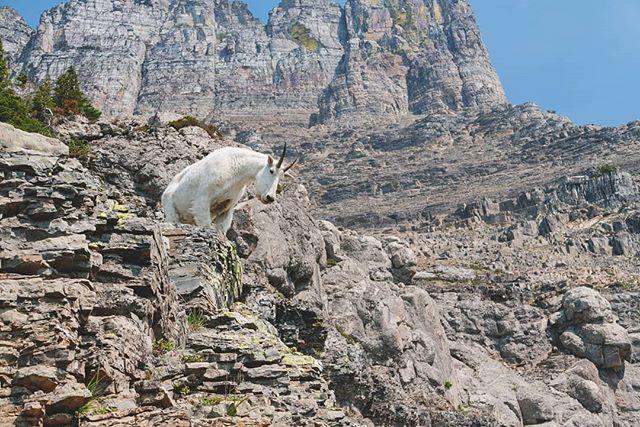 We love mountain goats :) 😍 #mountains #goat #glaciernationalpark #glaciernps #wildlife #highlinetrail #montana #hiking