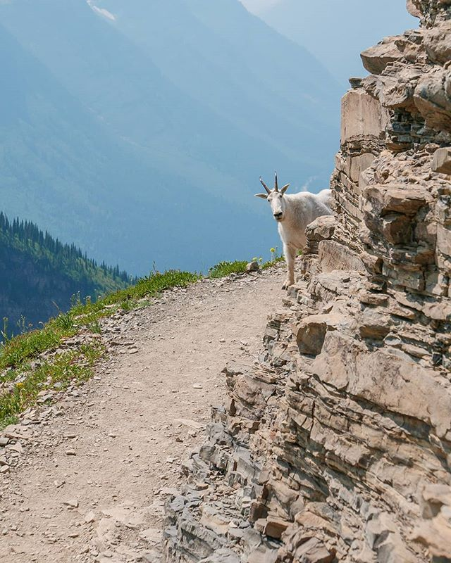 This little guy was more curious than afraid. #goat #glaciernationalpark #mountains #montana #nps #hiking #wildlife #trail