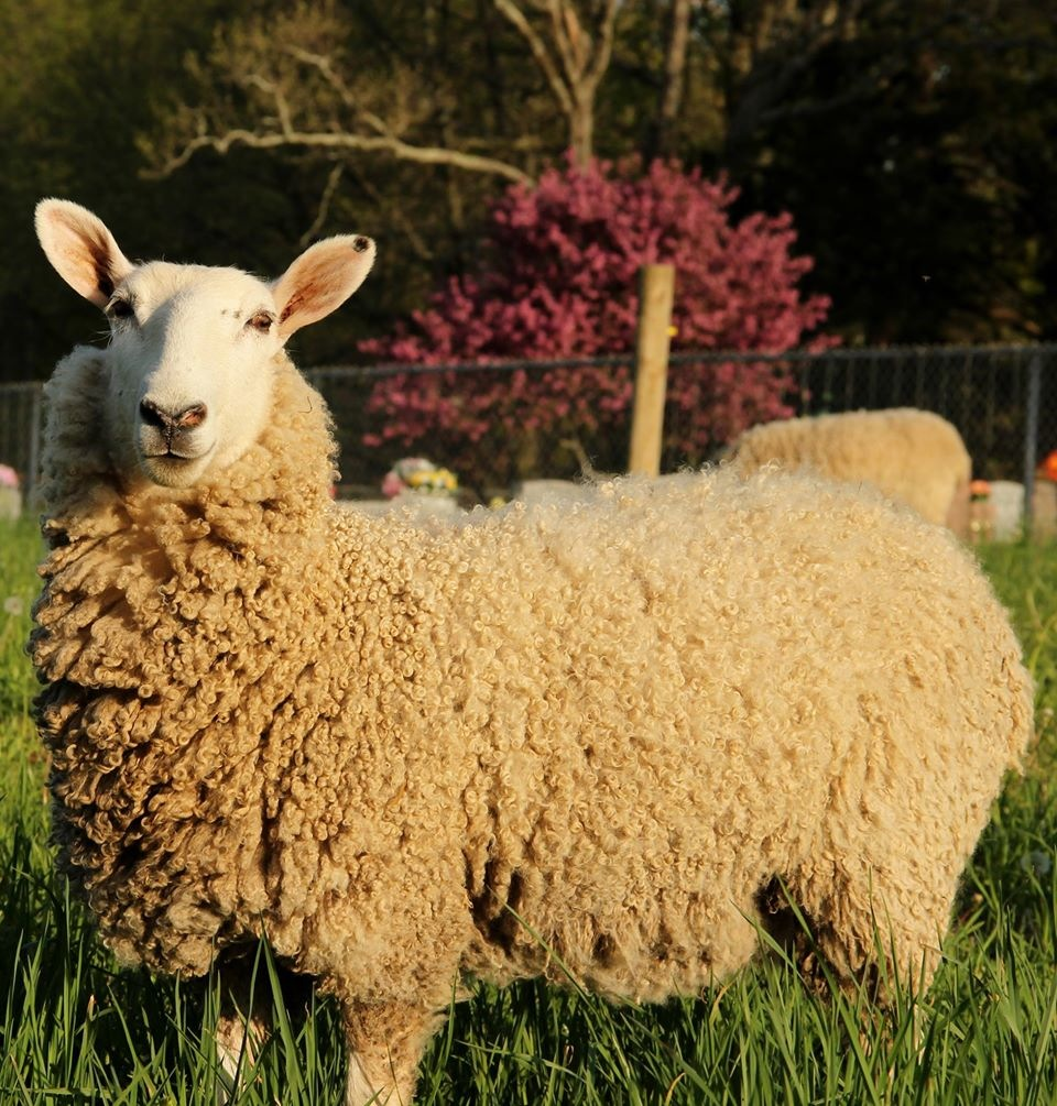 Butterfly: Border/Bluefaced Leicester Ewe