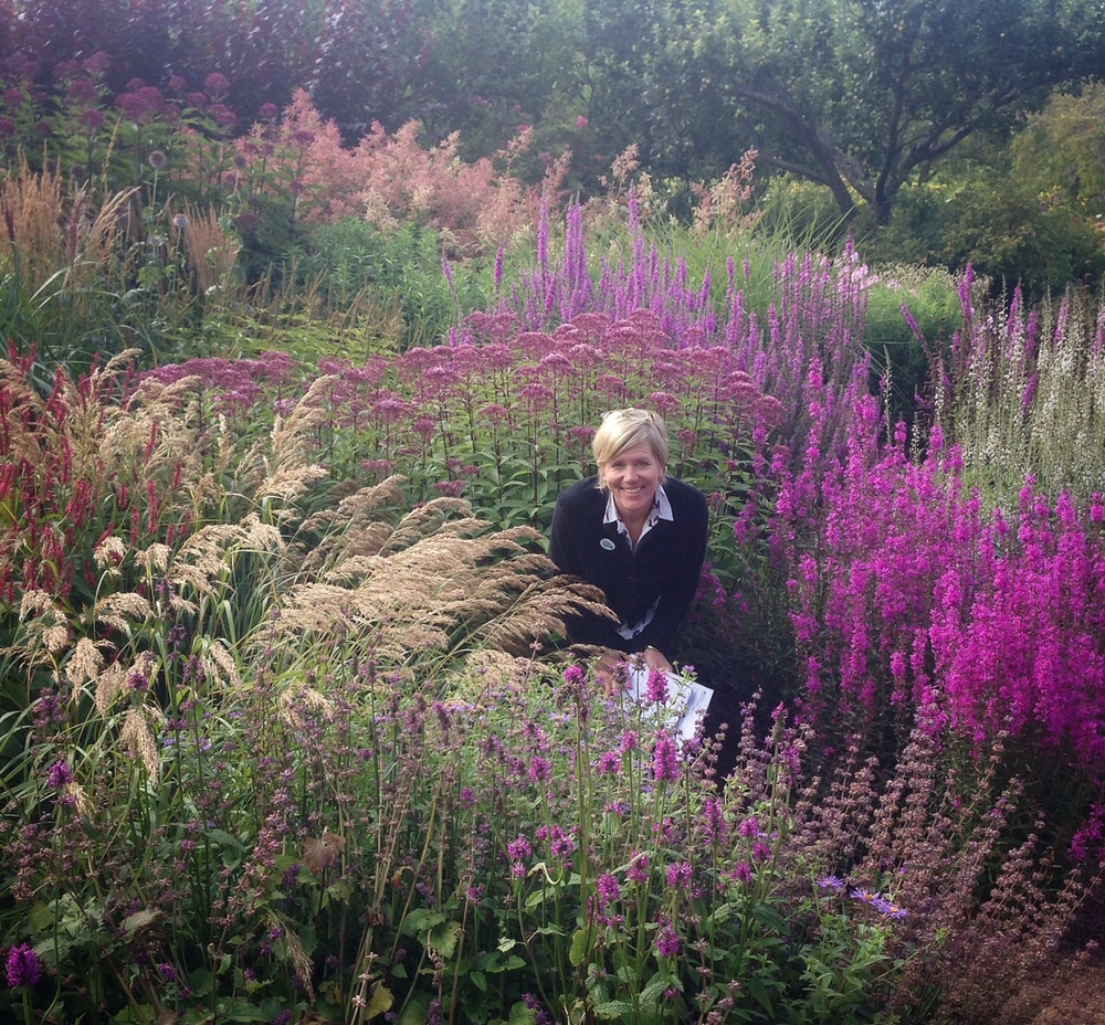 Pictured here (some rough guesses included): At right: Lythrum 'Dropmore Purple'; directly in front of me, purple tufts, Betony officionalis 'Hummelo'; Grass (best guess) Calamagrostis bracytricha; red spires to the left of that, Persicaria; behind me the shorter version of Eupatorium, known as 'Phantom'; the dusty rusty peach shrub in the rear is Filipendula rubra, and the white spires, Lysimachia ephemerum, a new favourite thanks to Fe at Wormistoune for identifying!