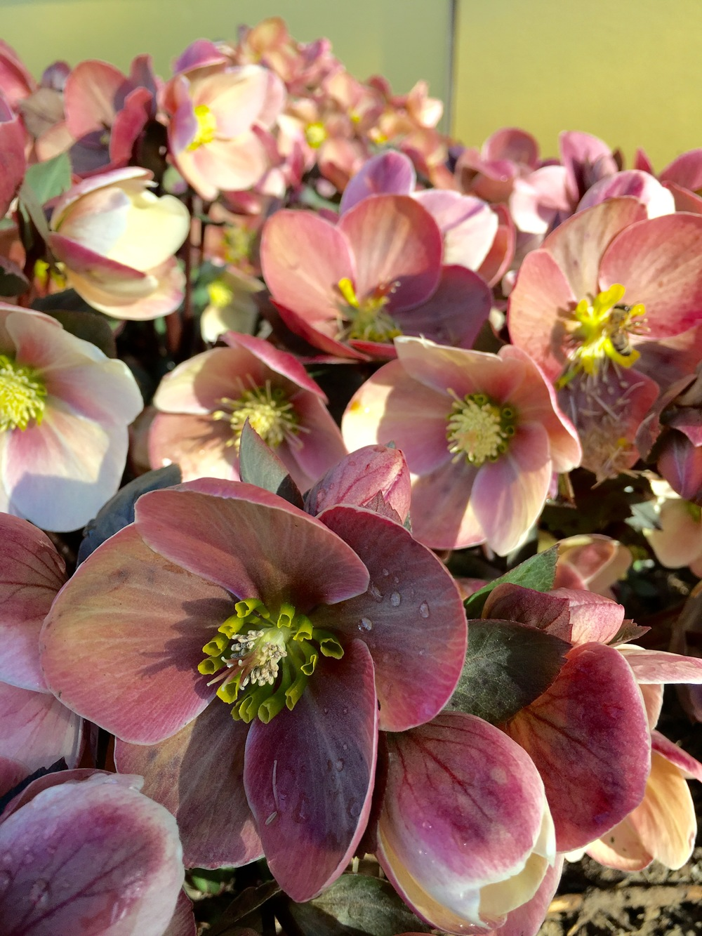 Helleborus x ballardiae 'HGC Pink Frost', a hybrid of H. lividus and the Christmas rose, H. Niger