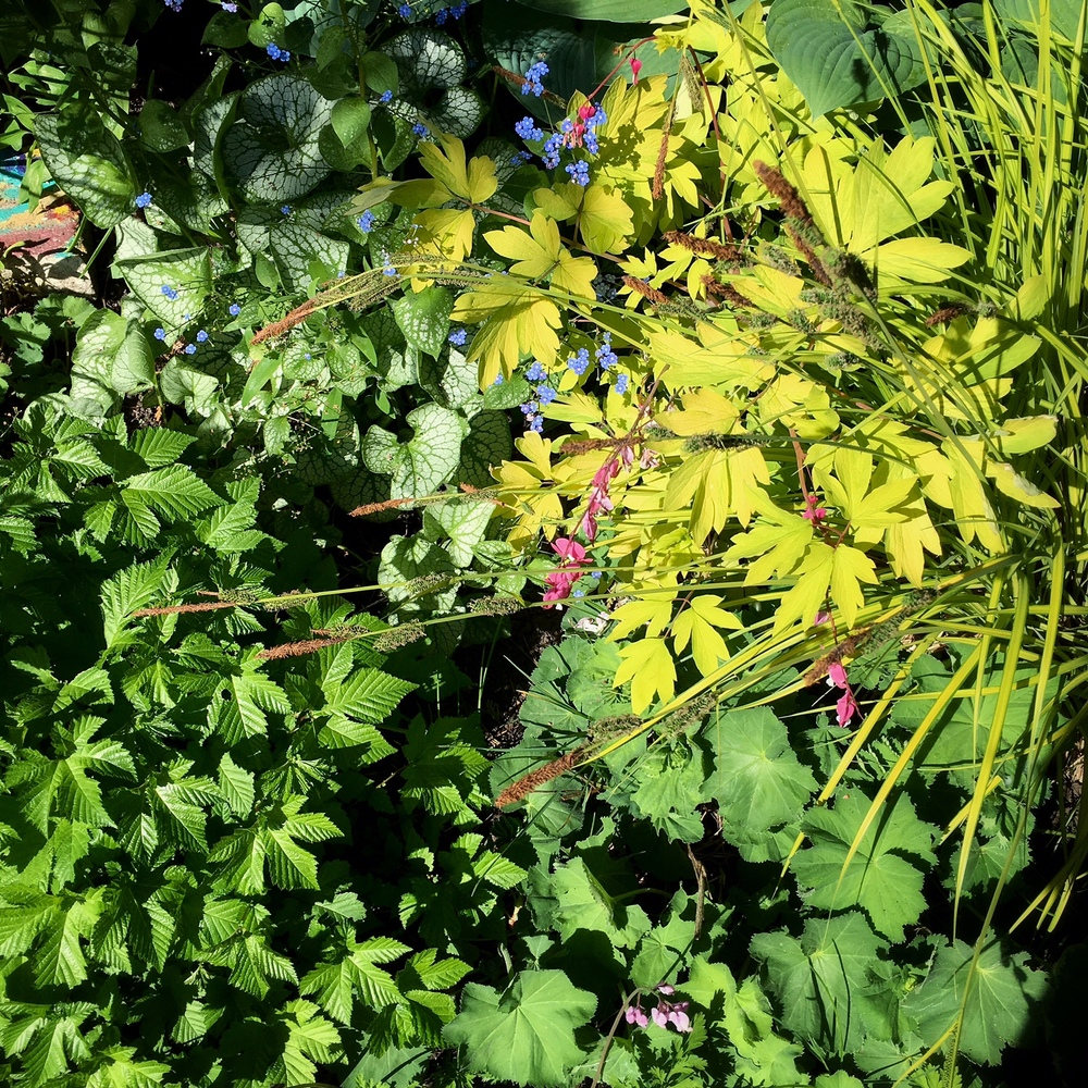 A tableau of toughies under cedar (from bottom left): Astilbe, Brunnera, Dicentra, Hosta, Carex and Alchemilla