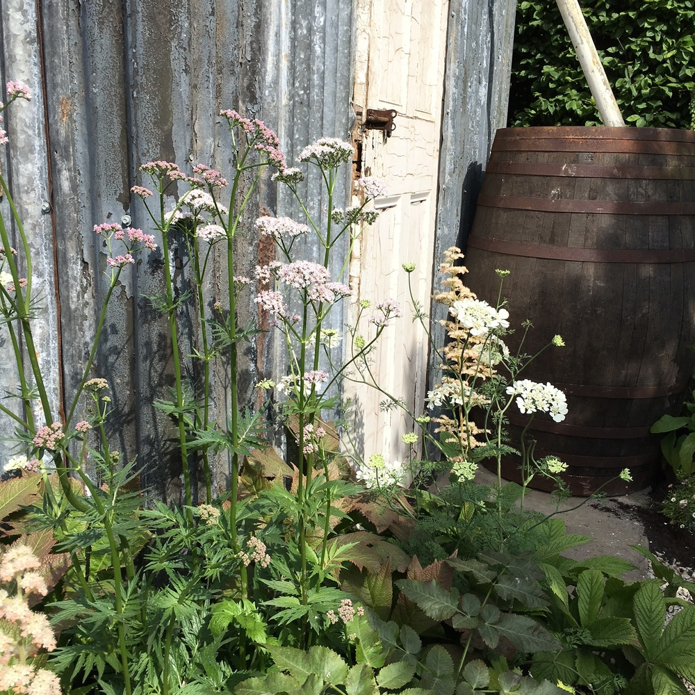 Valerian, Orlaya and Rodgersia in the Harrod's British Eccentrics garden by Diarmuid Gavin