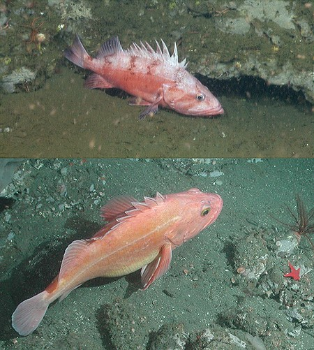rockfish.jpg