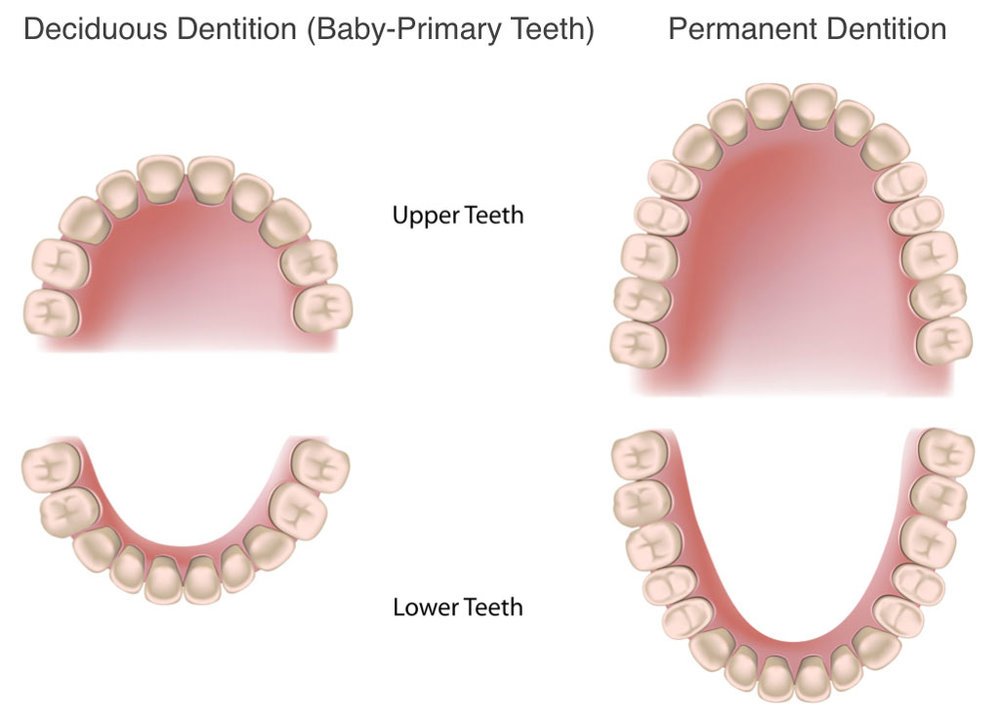 Deciduous-and-Permanent-Dentition.jpg