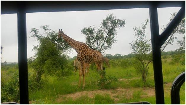 South African Safaris Giraffe