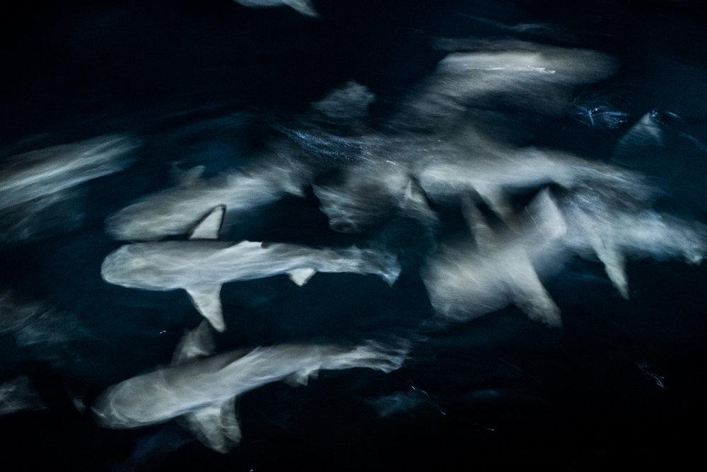 sharks_001.jpg