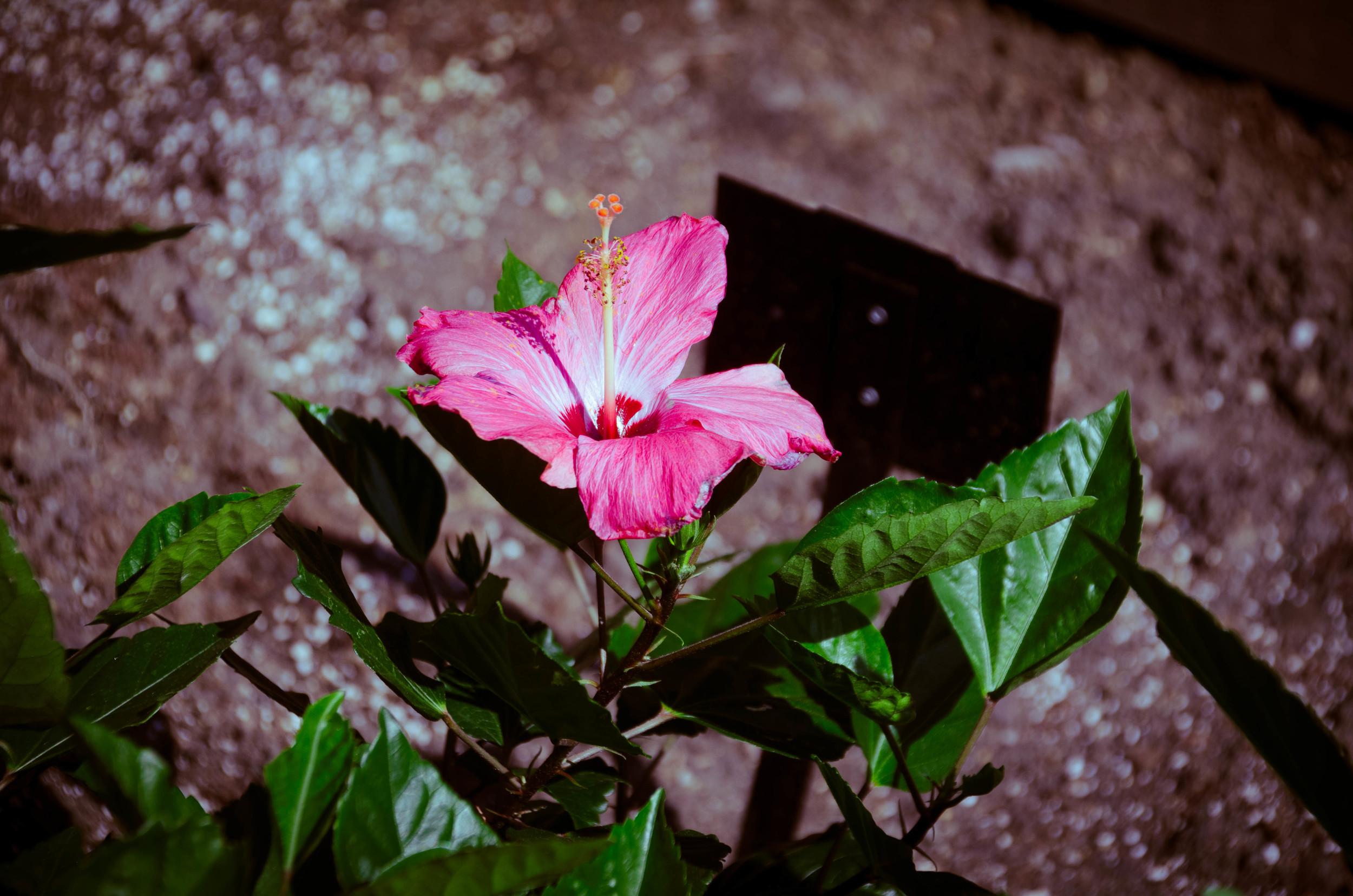 Common Hibiscus Hibiscus Syriacus Heritage Garden