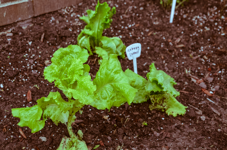 Lettuce Lactuca Sativa Heritage Garden