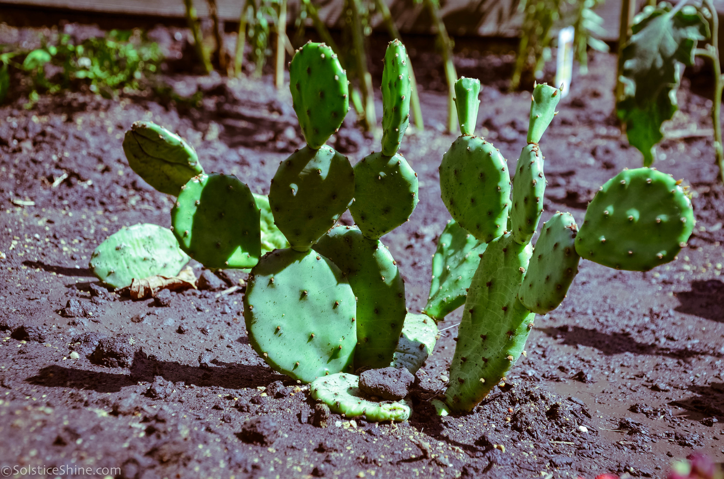 Pictures Of Prickly Pear Cactus