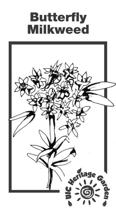 Butterfly Milkweed Illustration