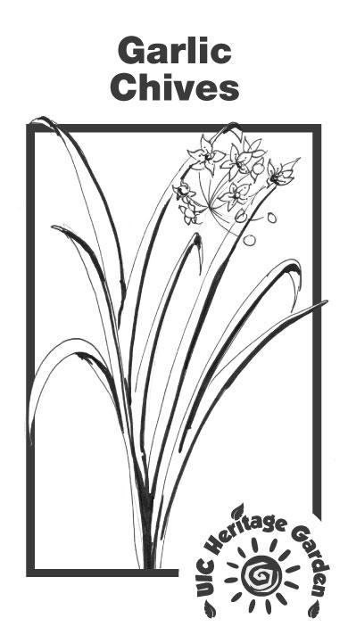 Garlic Chives Illustration