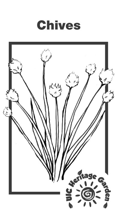 Chives Illustration