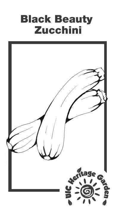 Black Beauty Zucchini Illustration
