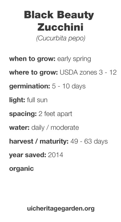 Black Beauty Zucchini growing information