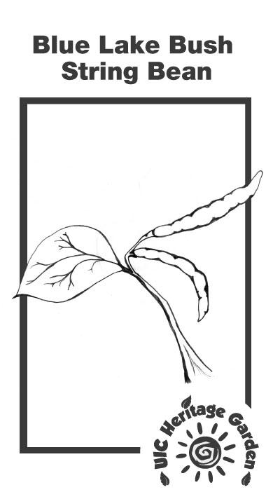Blue Lake Bush String Bean Illustration